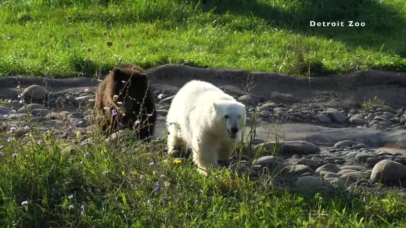After a quarantine period, Jebbie moved to the Arctic Ring of Life polar bear building, where...