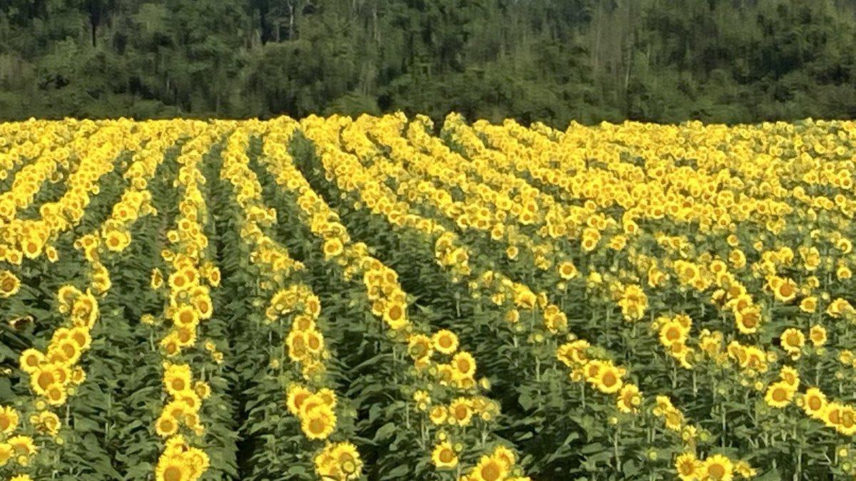 Sunflower field now open near Auburn