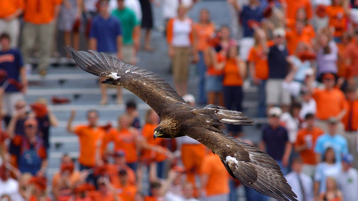 Auburn's famed golden eagle Nova, War Eagle VII, pictured, soars above Jordan-Hare Stadium...