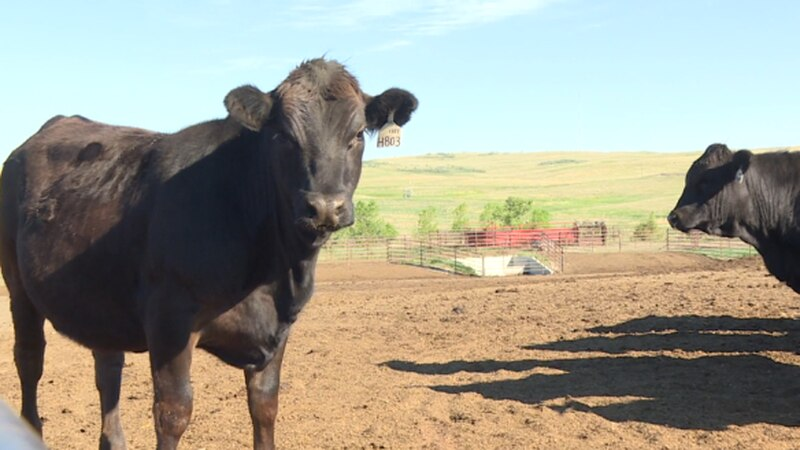 Of the 80 surviving cows, at least 15 have aborted their calves.