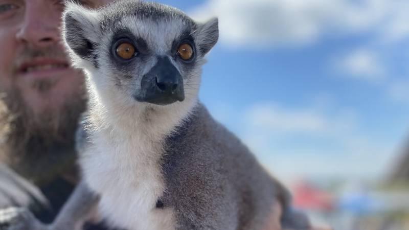 Meteorologist Lauren Linahan chats with Greg and Yondu the lemur of Eudora Farms