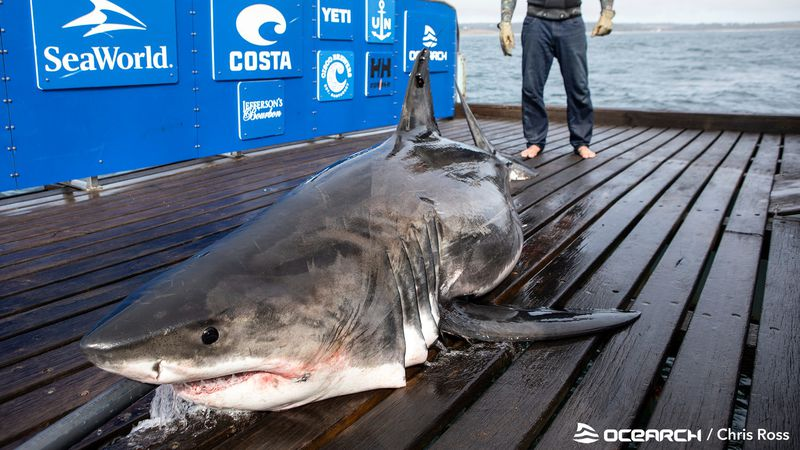Several sharks are pinging along the eastern coast and in the gulf as we head into the Memorial...