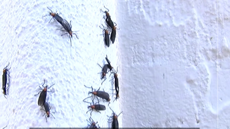 Love bugs, they're here and they're everywhere. They're mating and getting all over your car....